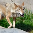 Walking wolf - Stockfoto