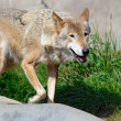 Walking wolf - Foto Stock
