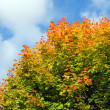 Stock Photo: Maple tree in autumn color