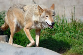 Walking wolf — Stock Photo
