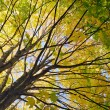 Maple tree in autumn color - Stock Photo