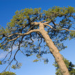 Stock Photo: Tree crone over blue sky