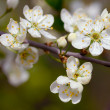 Cherry blossom — Stock Photo #1143989
