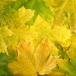 Autumn maple leaves — Stockfoto