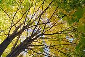 Klon drzewo jesień kolor — Zdjęcie stockowe