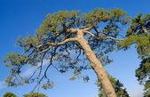 Tree crone over blue sky — Stock Photo