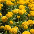 Marigold flower field — Stock Photo