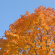 Tree in autumn colors against the blue s — Stock Photo