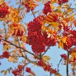 Foto de Stock  : Mountain ash background