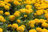 Marigold flower field — Stock Photo