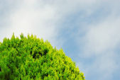 Thuja on blue sky — Stock Photo