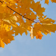 Stock Photo: Maple branch in autumn colors