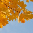 Maple branch in autumn colors — Stock Photo