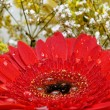 Red gerber flower - Stock Photo
