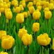 Yellow tulips - Stock Photo