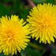 Two flowers of a dandelion — Stock Photo