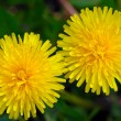 Two flowers of a dandelion - Stock Photo