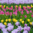 Multi-coloured field of tulips - Stock Photo