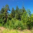 Summer forest — Stock Photo #1814155