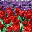 Blossoming tulips - Stock Photo
