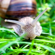 Snail on a green grass — Stock Photo
