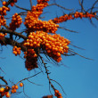 Buckthorn - Stock Photo