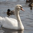 Swan and ducks on the water — Stock Photo