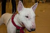 Köpekler fuarına katıldık — Stok fotoğraf