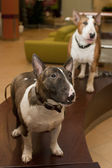 Hunde-ausstellung — Stockfoto
