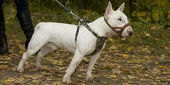 Bull-terier på gräset — Stockfoto