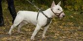 Toro-terier sull'erba — Foto Stock