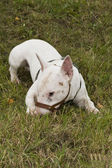 公牛 terier 在草地上 — 图库照片