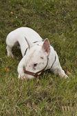 Bull-teriery auf dem rasen — Stockfoto