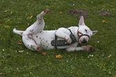 бык терьер на траве — Стоковое фото