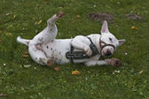 Toro-terier en la hierba — Foto de Stock