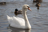 Swan and ducks on the water — Стоковое фото