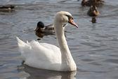 Swan und enten auf dem wasser — Stockfoto