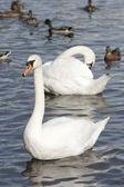 Swan och ankor på vattnet — Stockfoto