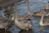 утки на воде — Стоковое фото