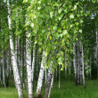 Birch trees with young foliage — Stock Photo