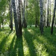 Birch trees with long shadows — Stock Photo