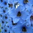 Stock Photo: Blue Delphinium flowers
