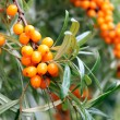 Branch of sea buckthorn berries - Stock Photo