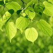 Close-up of green leaves — Stock Photo