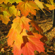 Beautiful autumn leaves of maple tree — Stock Photo