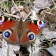 Beautiful butterfly on dry foliage - Stock Photo