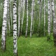 Birch forest — Stock Photo #1123679