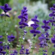 Stock Photo: Beautiful flowers of salvia