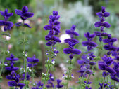 Beautiful flowers of salvia — Stock Photo
