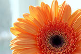 Close-up of gerber daisy flower — Stock Photo